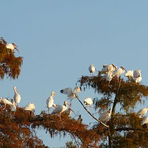 White Ibis on Bayou
